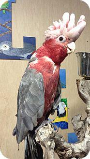 Cockatoo for adoption in Woodbridge, New Jersey - Terri