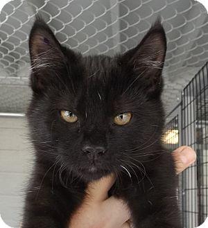 Domestic Shorthair Kitten for adoption in Grants Pass, Oregon - Sage