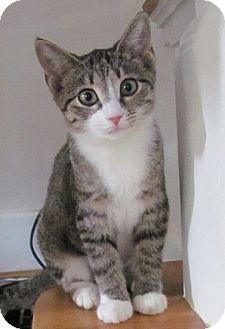 Domestic Shorthair Cat for adoption in Covington, Kentucky - Talia