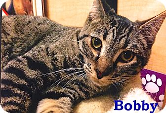 Domestic Shorthair Cat for adoption in Foothill Ranch, California - Bobby