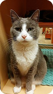 Domestic Shorthair Cat for adoption in Ocean View, New Jersey - Baby