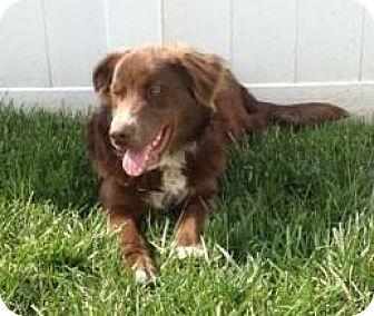 Australian Shepherd Dog for adoption in Point Pleasant, Pennsylvania - MAX-ADOPTION PENDING