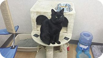 Domestic Shorthair Cat for adoption in Germantown, Ohio - Hilary