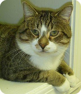 Domestic Shorthair Cat for adoption in Hamburg, New York - Groucho