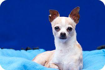 Chihuahua Mix Dog for adoption in Coronado, California - Kiki