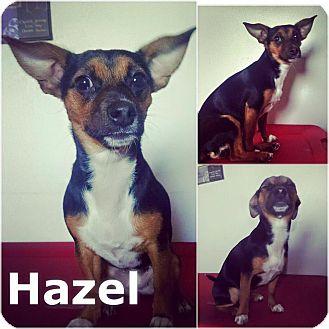 Miniature Pinscher Mix Puppy for adoption in St Clair Shores, Michigan - Hazel