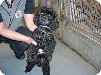 Poodle (Miniature) Dog for adoption in Olympia, Washington - 47244