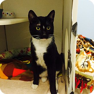 Domestic Shorthair Cat for adoption in Oakland, New Jersey - Lucas