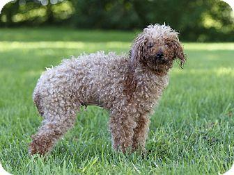 Miniature Poodle Dog for adoption in Ile-Perrot, Quebec - DELTA