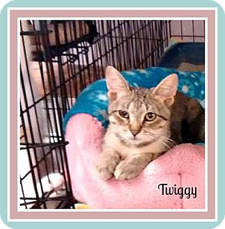 Domestic Shorthair Kitten for adoption in New Richmond,, Wisconsin - Twiggy