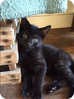 Domestic Shorthair Kitten for adoption in Philadelphia, Pennsylvania - Rama