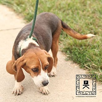 Beagle Mix Dog for adoption in Waldorf, Maryland - Ceelie Stafford