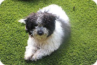 Shih Tzu/Maltese Mix Dog for adoption in Bedminster, New Jersey - Pockets