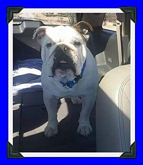 English Bulldog Dog for adoption in Hurst, Texas - Damon