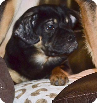 Shar Pei/Poodle (Miniature) Mix Dog for adoption in Brattleboro, Vermont - Ms. Gator~adopted