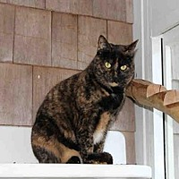 Domestic Mediumhair Cat for adoption in Hampton Bays, New York - CALLIE