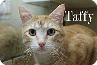 Domestic Shorthair Cat for adoption in Wichita Falls, Texas - Taffy