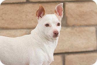 Chihuahua Mix Dog for adoption in Coronado, California - Honey