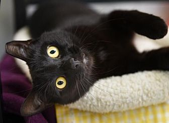 Domestic Shorthair Cat for adoption in Chattanooga, Tennessee - Lourdes
