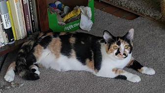 Calico Cat for adoption in St. Paul, Minnesota - Clover