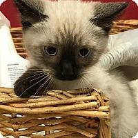 Adopt A Pet :: Ginger Bread - Decatur, AL