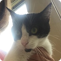 Domestic Shorthair Cat for adoption in Jackson, Michigan - Bella