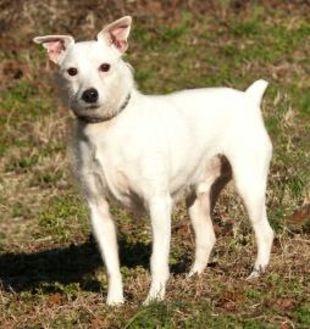 Jack Russell Terrier Mix Dog for adoption in Glen Allen, Virginia - Rex *Foster*