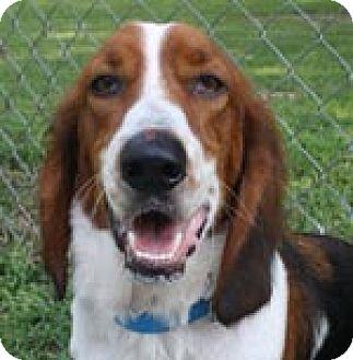 Basset Hound Dog for adoption in Charleston, South Carolina - Copper