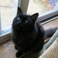 Adopt A Pet :: Tula - Northbrook, IL