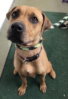 American Pit Bull Terrier Mix Dog for adoption in Mt Pleasant, Michigan - Dana
