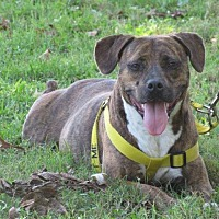 Pit Bull Terrier Mix Dog for adoption in New Bern, North Carolina - Karly