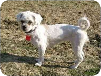 Lhasa Apso Mix Dog for adoption in Ile-Perrot, Quebec - Diva