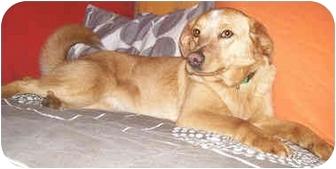 Labrador Retriever/Golden Retriever Mix Dog for adoption in Latrobe, Pennsylvania - Esme