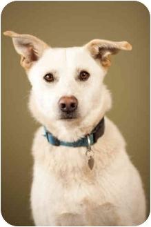 Labrador Retriever/German Shepherd Dog Mix Dog for adoption in Portland, Oregon - Hoover