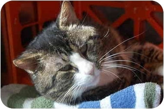 Domestic Shorthair Cat for adoption in Westbrook, Maine - Spock
