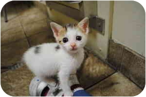 Domestic Shorthair Kitten for adoption in Secaucus, New Jersey - Vienna