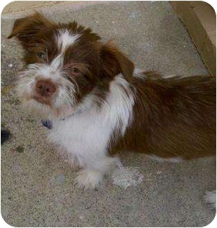 Terrier (Unknown Type, Small) Mix Puppy for adoption in ......................., California - Charlie