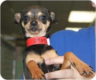 Chihuahua Mix Dog for adoption in Fresno, California - Socks