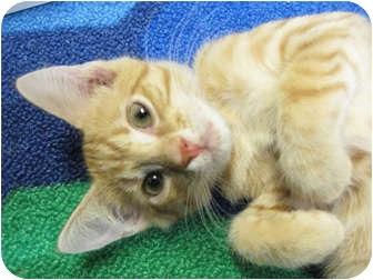 Domestic Shorthair Kitten for adoption in Centerburg, Ohio - Sebastian