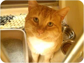 Domestic Shorthair Cat for adoption in Worcester, Massachusetts - Cosmo