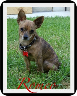 Chihuahua Dog for adoption in Escondido, California - Romeo