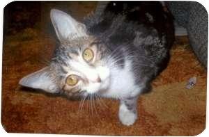 Domestic Shorthair Cat for adoption in Hamburg, New York - Harmony