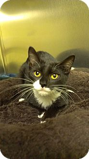 Domestic Shorthair Cat for adoption in Richboro, Pennsylvania - Megan Fox