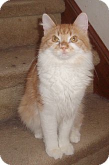 Domestic Mediumhair Cat for adoption in Germansville, Pennsylvania - Randall