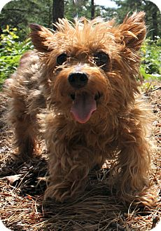 Yorkie, Yorkshire Terrier Dog for adoption in Forked River, New Jersey - Edy