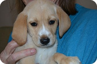 Boxer/Beagle Mix Puppy for adoption in Mt Sterling, Kentucky - Nemo - Adoption Pending