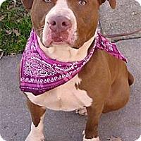 Adopt A Pet :: Cammie loves kids easy mellow - Sacramento, CA