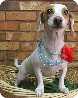 Dachshund Mix Dog for adoption in Benbrook, Texas - Fiona