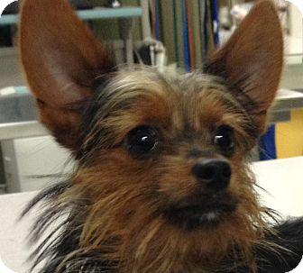 Yorkie, Yorkshire Terrier Puppy for adoption in Covington, Washington - Einstein-adopted!