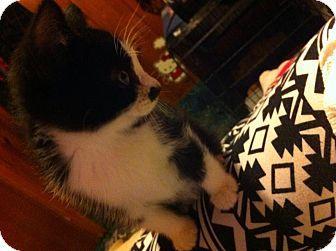 Manx Kitten for adoption in Chisholm, Minnesota - Stimpy